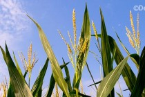 Can Scientists Hack Photosynthesis to Feed the World?