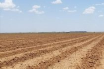 Rose on Cotton: Bears in the House; New Crop Sales Slowing Down