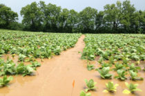 Tobacco: How to Head Off Hurricane Damage