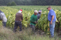 Tobacco: Will the Burley Crop Make It Into the Barn Before Frost?