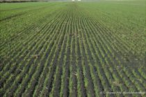 Kansas Wheat: How Much Nitrogen Do You Need for Topdressing?