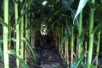 Ohio Corn: Are Late Maturing Fields at Risk of Frost Injury?