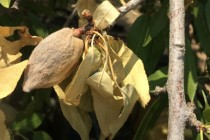 California Almonds: 4 Causes for Poor Nut Removal