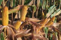 Kentucky Corn: Hybrid Trial Results Online