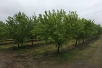 California Almonds: Yellow Trees? Likely Means They're Too Wet