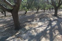 California Almonds: Is Winter Irrigation Needed?