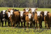 DTN Livestock Midday: Cattle Futures Surge Higher