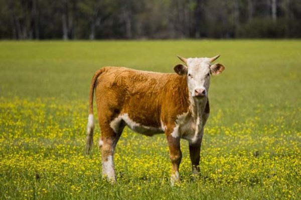 DTN Livestock Close: Cattle Find Commercial Buying Support