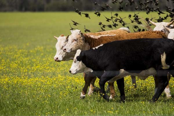 DTN Livestock Midday: Swift Selling Developing in Cattle Futures