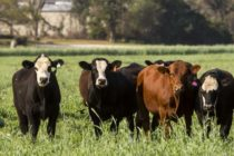 DTN Livestock Midday: Cattle Futures Post Sharp Pressure