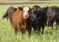 DTN Livestock Midday: Limit Losses Develop in Cattle