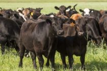 Mississippi Livestock: Chinese Beef Market Access Will Help Cattle Producers