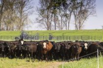 Livestock: Planned Breeding Schedules Pay Dividends for Beef Producers