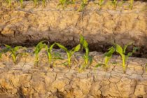 Dow Agrees to Sell Brazil Corn Seed Assets to CITIC Agri Fund – $1.1Bln