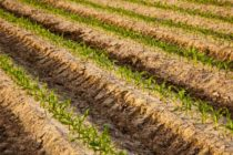 South Dakota Corn: Do Big Yields Mean Big Money?