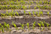 Ohio Corn: Will Planting Delays Require Switching Hybrid Maturities?