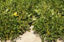Dicamba: Lawsuits and Insurance Claims Piling Up  – Part 2