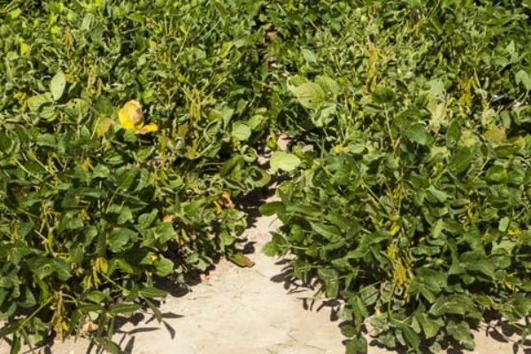 Dicamba: Purdue Study – Response of Roundup Ready Soybean Yield After Exposure