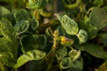 Illinois: Dicamba Drift on the Rise – Facts and Speculations