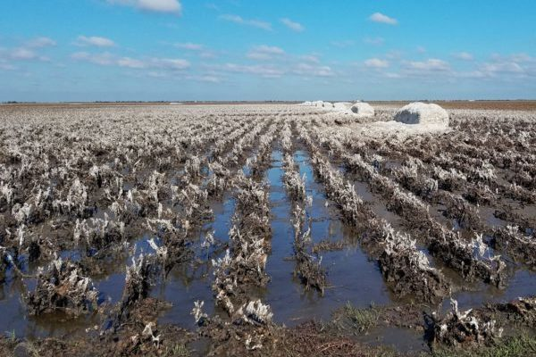 Rose on Cotton: Will the 'Hurricane Rally' Continue?