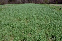 Arkansas: Researchers Receive Grant for Cover Crop Study