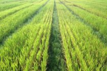 California Wheat: Is It Too Late to Topdress Fall-Planted Fields with Nitrogen?