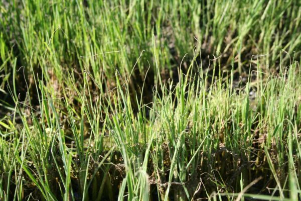 California Rice: Armyworms in Delta Fields – Monitoring and Treatment
