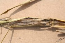 California Rice: Stem Rot – Identification and Management