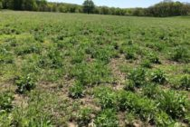 Iowa: Time to Scout CRP for Palmer Pigweed?