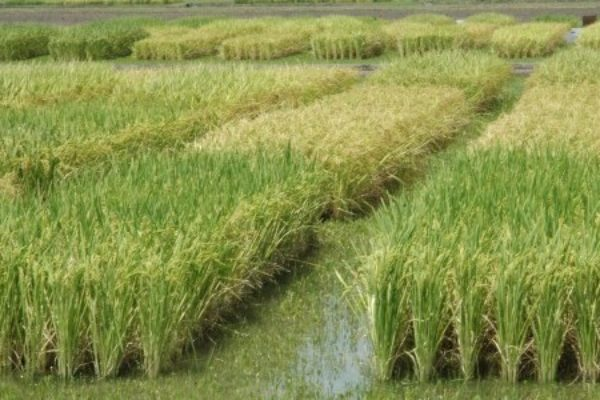 Rice Outlook: Smaller Production to Tighten Global Supplies