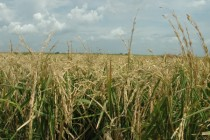 Global Rough Rice Prices Remain Unchanged