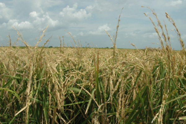 Rice Outlook: U.S. Export Forecast Lowered 2.0 Mln Cwt