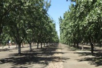 California Almonds: Understanding and Applying Info from Soil Tests