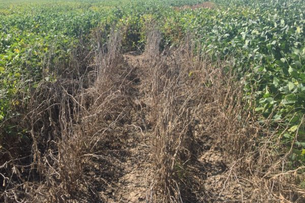 Mississippi: Soybean Stem Canker Inoculated Variety Trial Evaluations