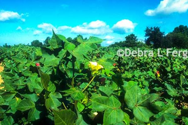 Rose on Cotton: WASDE – Demand is the Bright Spot