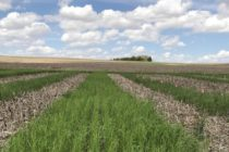 Nebraska: Cover Crop Study Focuses on Benefits in Soybean Cropping System