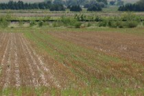 Kansas Wheat: Remember to Control Your Volunteer Wheat