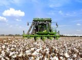 Rose on Cotton: Bears on a Roll – Keep Your Eye on Dec.
