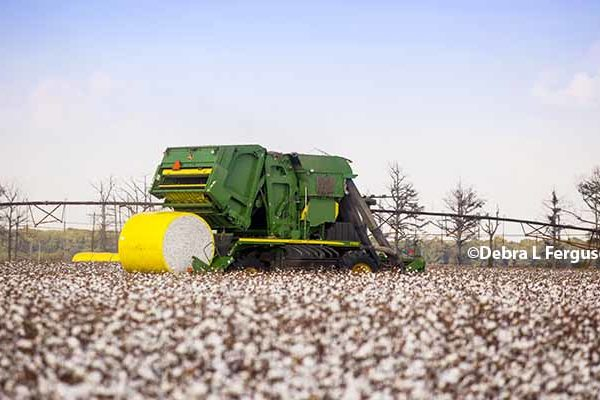 WASDE Cotton: U.S. Crop Predicted Largest in Over a Decade