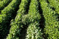 Fighting Pigweed With Overlapping Residuals – Do's And Don'ts