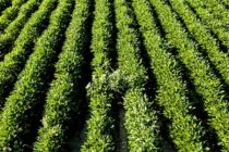 Resistant Weeds? Tips On Overlapping Residuals, Management, New Tech – AgFax