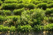 Resistant Weeds – Options When Control Jumps The Track – AgFax