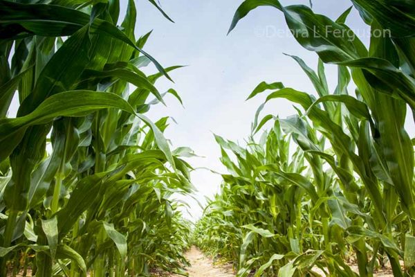 Corn, Soybean Markets: Implications from the June 30 Acreage Report – Video