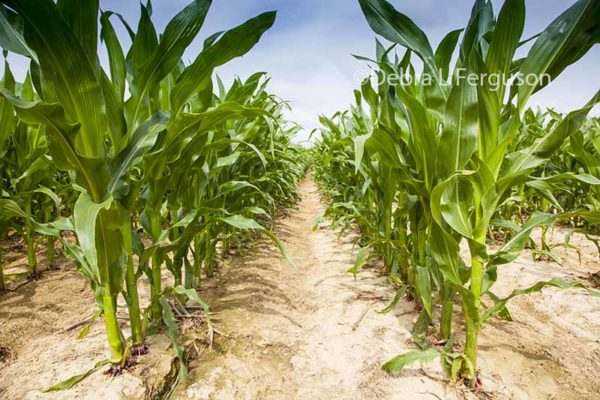 Pennsylvania Corn, Soybeans: Crops Taking Advantage of Improved Weather