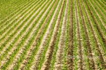 Tennessee Field Reports: Corn Planting Nears Completion