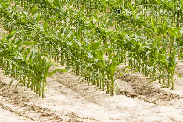 Corn Market Concerned Over Prospects for Lower Yields