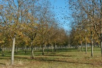 Georgia: Pecan, Peach, Blueberry Growers Concerned by Warm, Wet Dec.