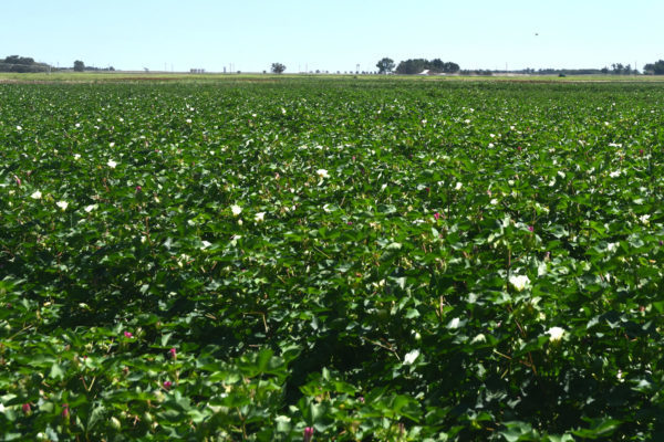 Texas Cotton: Hold the Water – Wait Until Flowering to Irrigate, Says Study