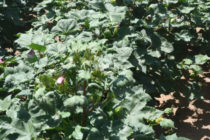 Texas Cotton: New Technologies Offer Opportunities, but Require Management