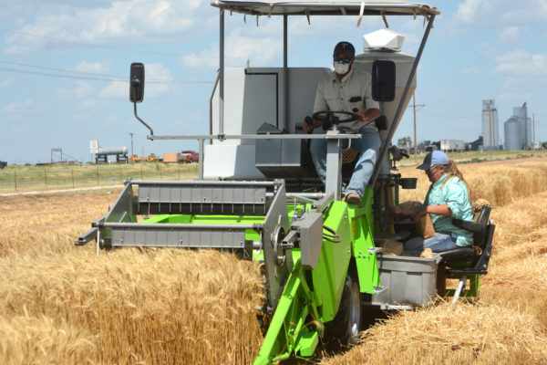 Texas Wheat: AgriLife Extension Releases High Plains 'Top Picks' List